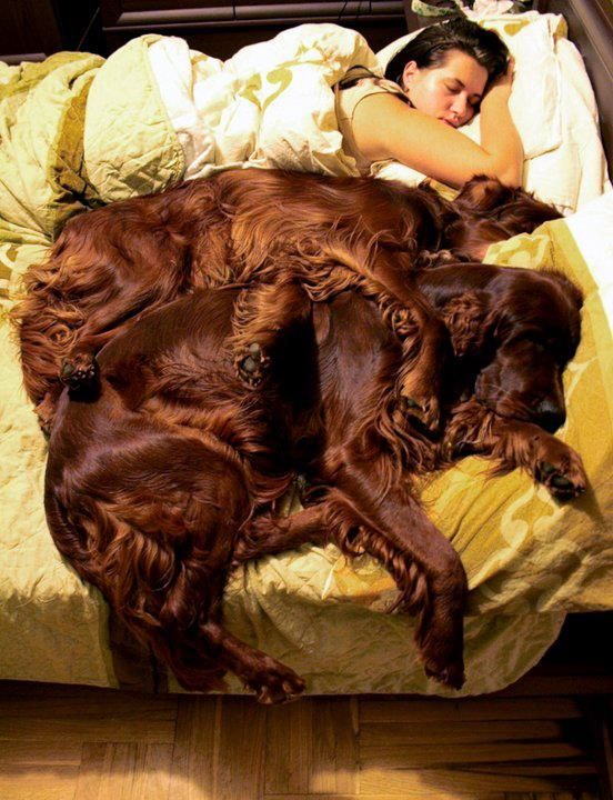 I have a 7 month old Irish Setter. He weighs 49 pounds, and I hope he has a lot of growing left. I just hope he doesn't get this big. That is a horse of a dog! holy cow!