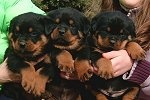 Atlantahaus Rottweilers | Rottweiler Puppies For Sale Cost and Price Guide