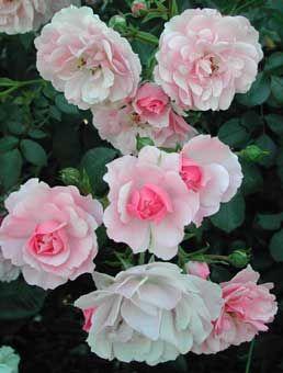 36 best rosiers jamais malades images on pinterest garden roses rose bush and shrub. Black Bedroom Furniture Sets. Home Design Ideas