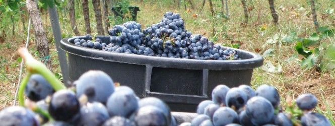 Salento Wine Tour from Lecce with Expert  www.lebaccanti.com