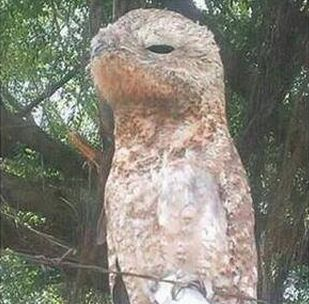This extremely creepy looking bird was found in Venezuela.  It's called the great Potoo and it's real. It's rare to see one in broad daylight.  I'm not sure what's worse, seeing one in the day, or hearing a rustle from above you and shining your phone over to see what it is and seeing that face looming out of the darkness