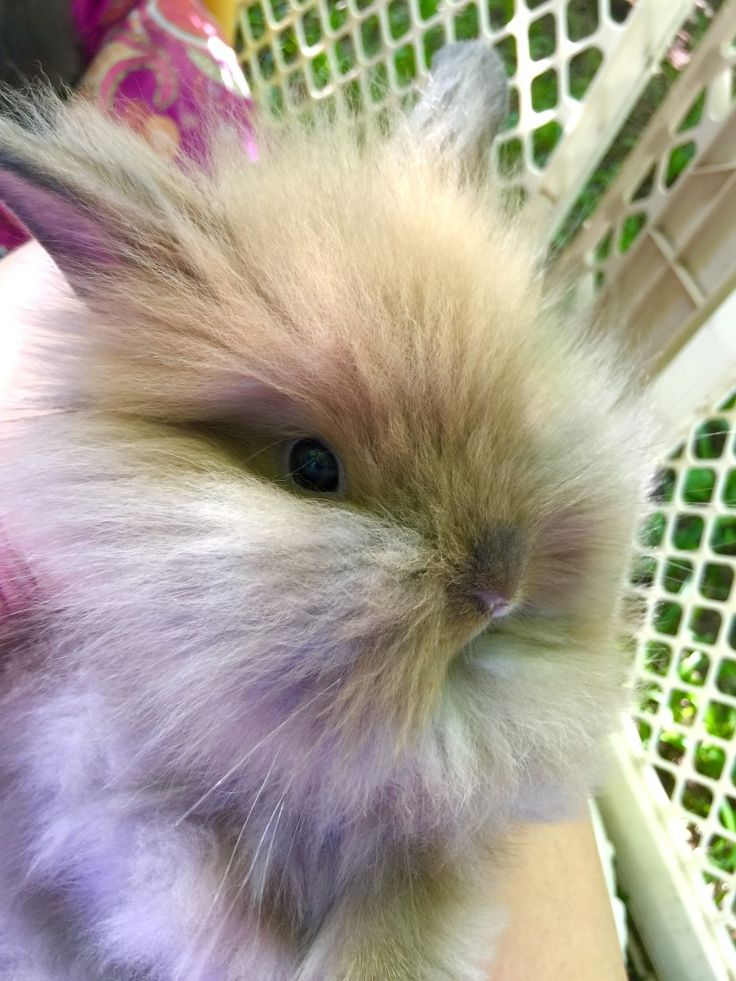 Meet the bunnies - sweet mini lion lop bunnies! ((They are a mix between Lionheads & Mini Holland Lops)) 7 weeks old! Lion lops make great family pets!