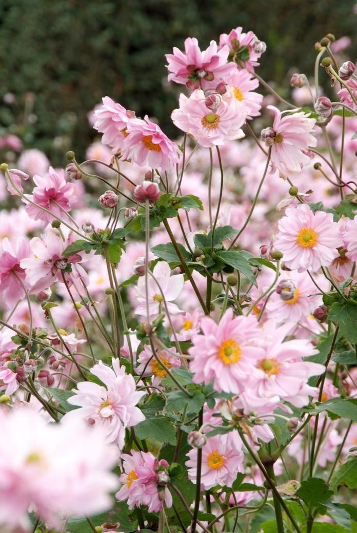 Anemone Japonica Hybride Konigin Charlotte Anemonen Pflanzen Garten Bepflanzen Pflanzen