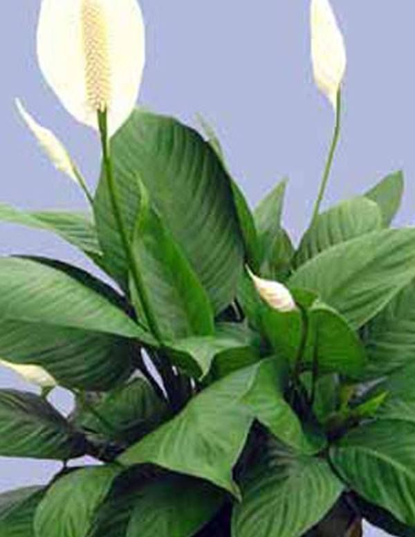 We Are Unable To Ship Live Plants Ca Hi Ak Az Highlights Stout Wide Leaves Dark Green Eye Catching Spathiphyllum Liana Tm Has Absolutly Wonder