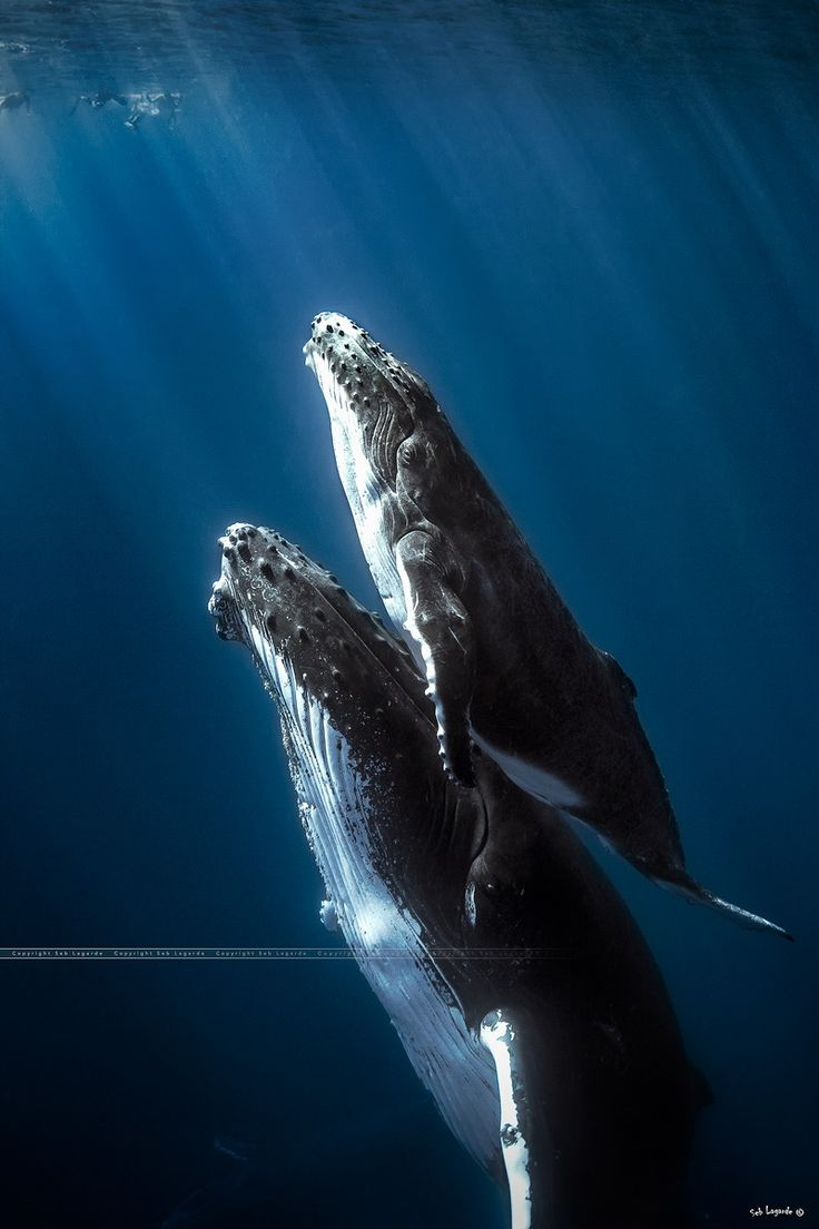 """Humpback whales mommy with is """"little"""" baby."""