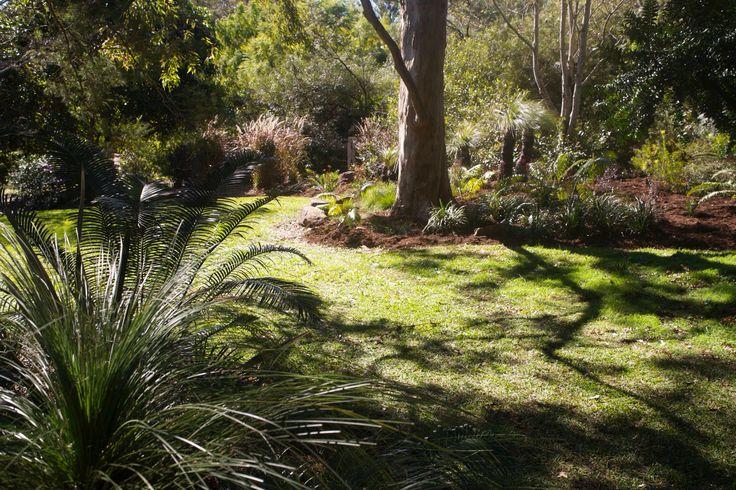 A Garden built around a beautiful Eucalyptus with Grass Trees and Burrawang palms