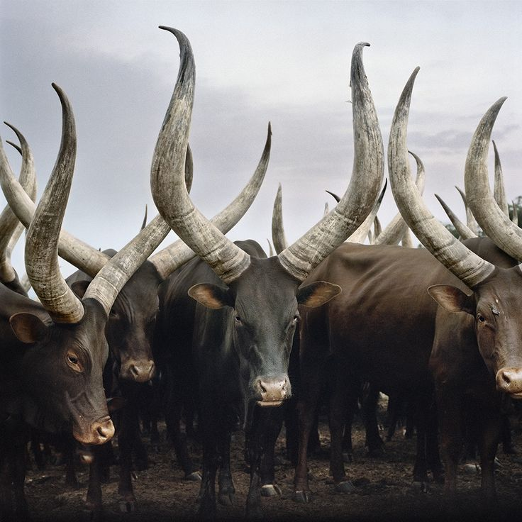 Group of Ankole cattle. Kiruhura district, Western Region, Uganda, 2012