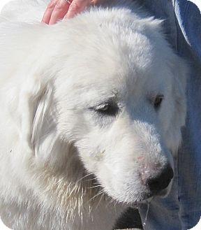 9/17/14 Trinidad, CO - Great Pyrenees Mix. Meet Ana, a dog for adoption. http://www.adoptapet.com/pet/11580975-trinidad-colorado-great-pyrenees-mix