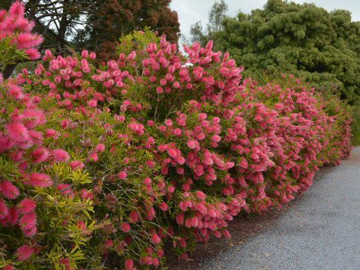 callistemon perth pink hedge