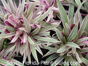 variegated oyster plant