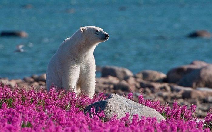 Белые медведи - настоящие романтики!