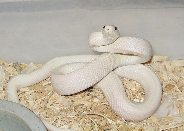 Leucistic Texas Rat Snake: Texas Ratsnak, Beautiful Snakes, Leucist Texas, Rats Snakes, Colors Snakes, Snakes Colors, Earth, White Snakes, Animal