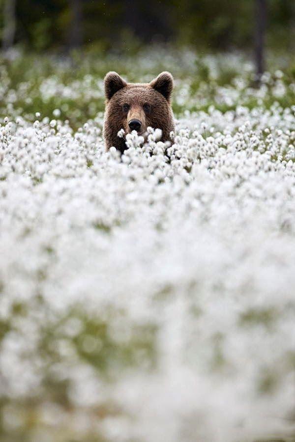 brown bear - Поиск в Google