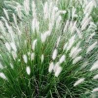 """Little Bunny Fountain Grass Dwarf:  8-10"""" H / 12-24"""" spread Herbaceous - full sun to part shade Plumes Aug thru Oct, turns red in the fall"""