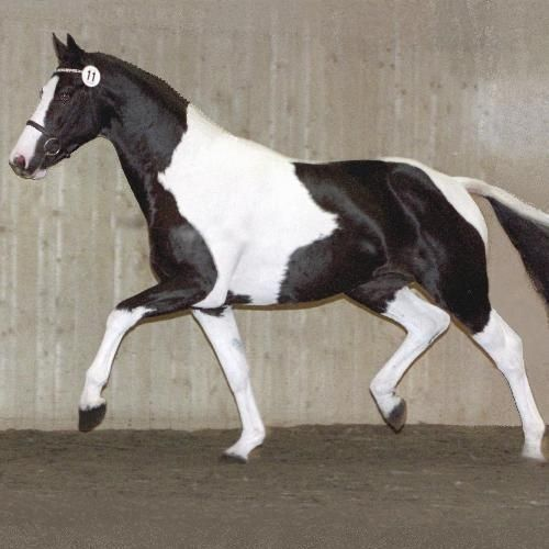 Dutch Warmblood  jj