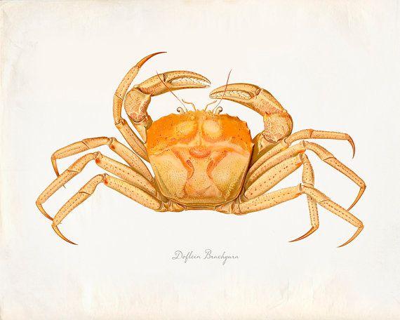 Vintage Dolfein Brachyura Crab Print 8×10 P212 – Etsy