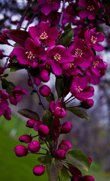 magenta flowering crab apple  ~~b~~  I have had a crab apple tree - lighter pink - in my backyard for many years.  It is awesome...and in spring the fragrance is breathtaking.  ♥