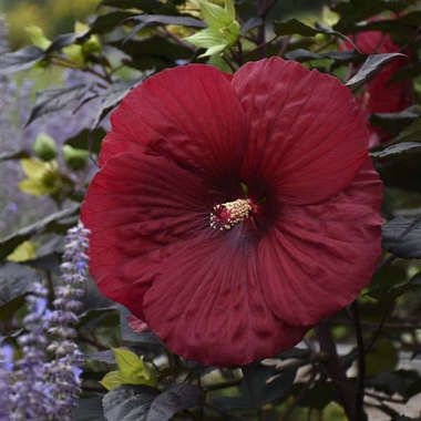 Hibiscus Holy Grail Ppaf 25 Br Plants Tropical Gardens