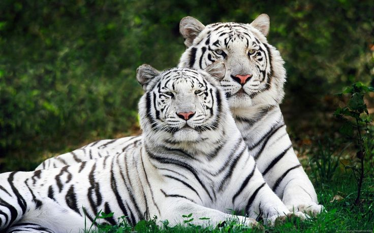 Tigers HD Wallpapers ready to download from our Widescreen Wallpapers…
