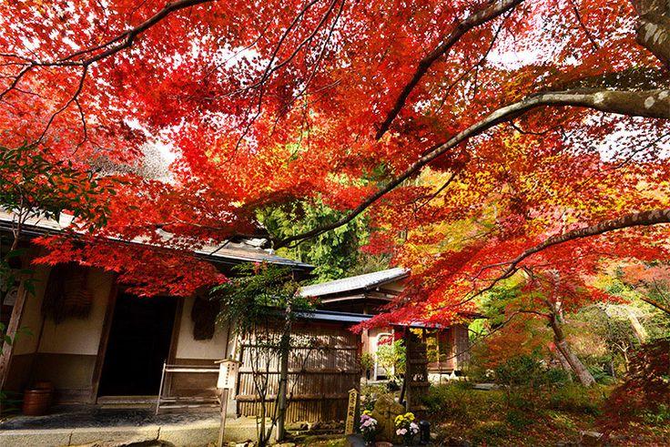 京・北嵯峨 直指庵の紅葉です。 座敷からの額縁撮影が出来なくなり、広縁から目一杯の広角撮影です。 本堂前は好い色付きです。 参道も期待が出来そうです。 ...