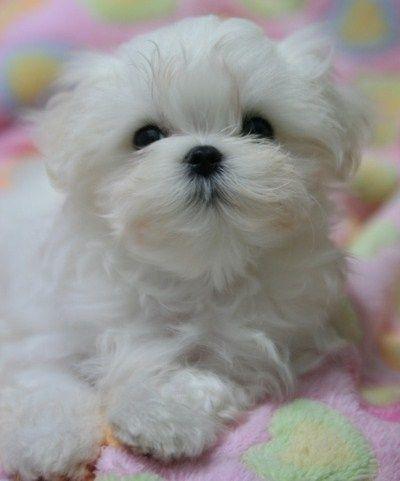 Maltezer  puppy wat een schatje