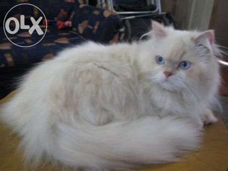 Persian cat flat face for sale philippines