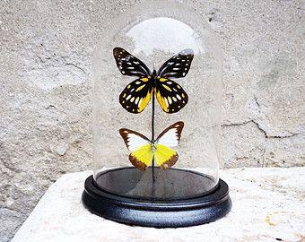 Campana di vetro con due farfalle imbalsamate provenienti da tutto il mondo