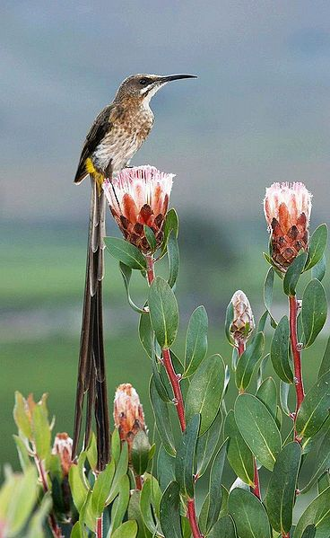 Cape Sugarbird and protea