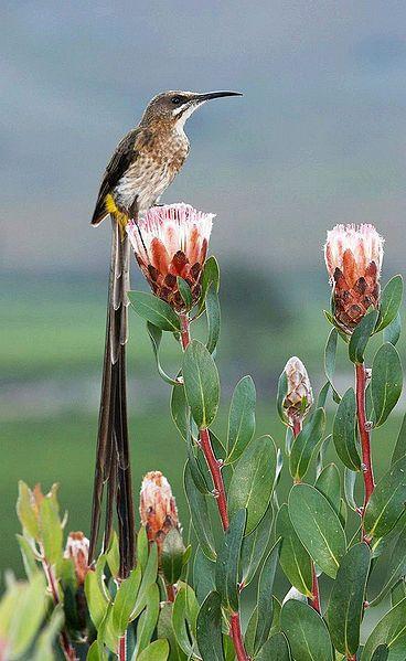 Cape Sugarbird and protea