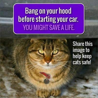 Cats hide in car engines.