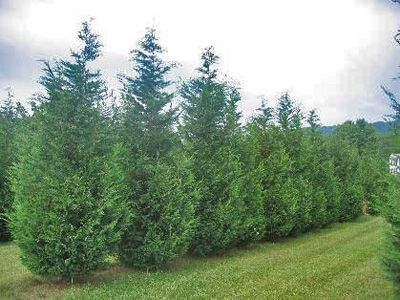 Fast Growing Trees for Privacy or Shade. Learn more about great trees that are faster growing than many others...and nice looking too! Shown here are Leyland Cypress. http://www.landscape-design-advice.com/fast-growing-trees.html