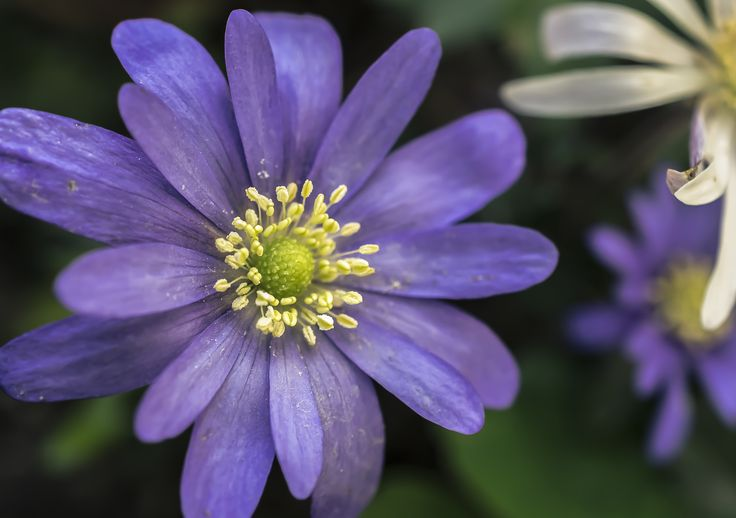 Small purple Anemone by Tine Nordbred on 500px