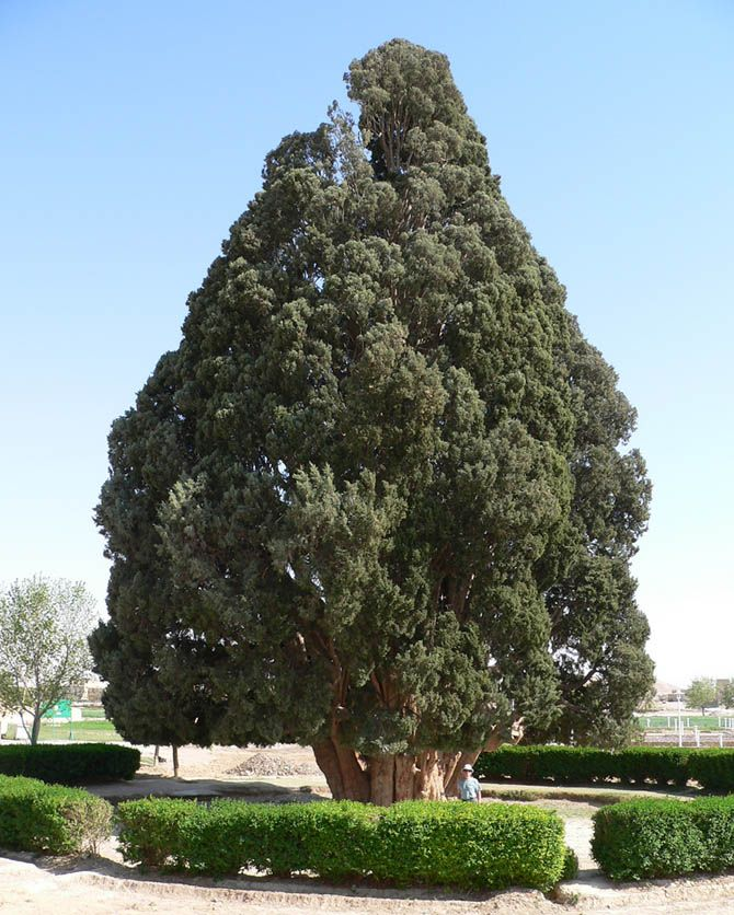 Zoroastrian Sarv (Sarv-e-Abarkooh) This giant cypress lives in Abarkooh, Iran. The evergreen took root between 4,000 and 4,500 years ago, around the time that Stonehenge was being completed. It may be the oldest living thing in Asia, and is a national monument in Iran. The Zorastrian Sarv stands about 82 feet high and has a girth of 37.8 feet. Copyright Image: Leo Kerner/flickr.