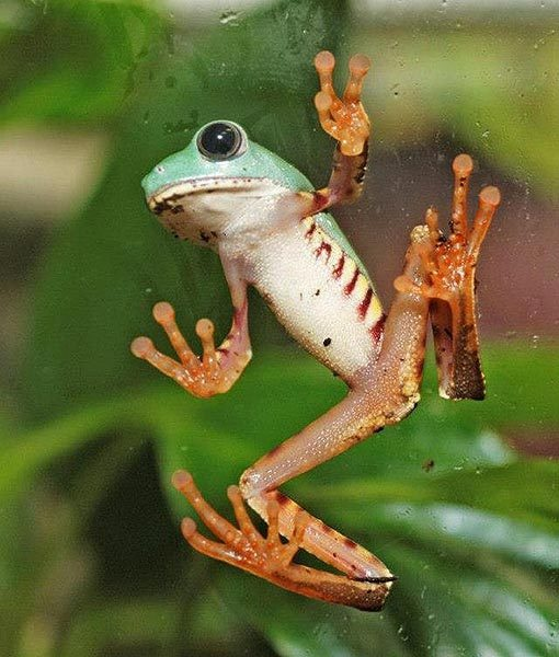 A tiger frog that comes from the forests of South America has propagated at Aquarium Berlin in Germany. There are currently 40 young frogs in a display case, where they will stay until they are properly grown.