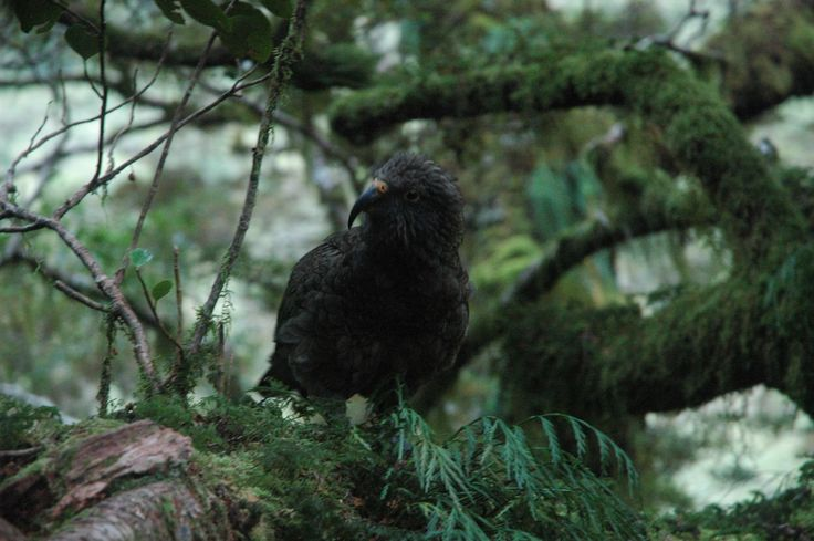 New Zealand native Kea on the Milford Track
