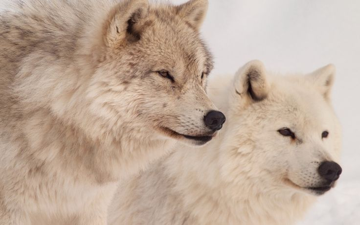 on All About Wolves  http://www.all-about-wolves.com/wp-content/gallery/free-wolf-photos-and-wallpaper/wolf-pack-1.jpg