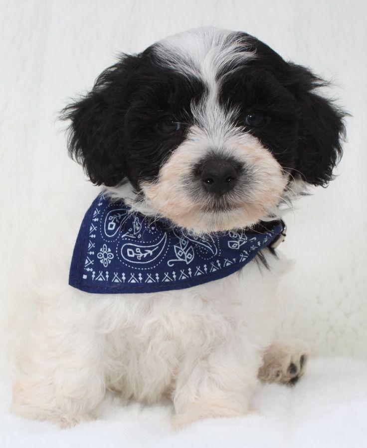 Maltipoo. En blanding af to af de mere populære af små hunderacer, den maltesiske og pudlen, hunde er små, klog, legesyg og kærlig. De er også evigt ung, opholder hvalp-lignende godt ind i deres senior år. Disse kvaliteter har gjort Maltipoo en af de mere populære  blandinger.