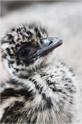 Emu-Küken