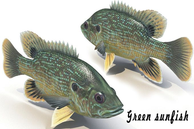 Green sunfish by AndrewWhite on @creativemarket