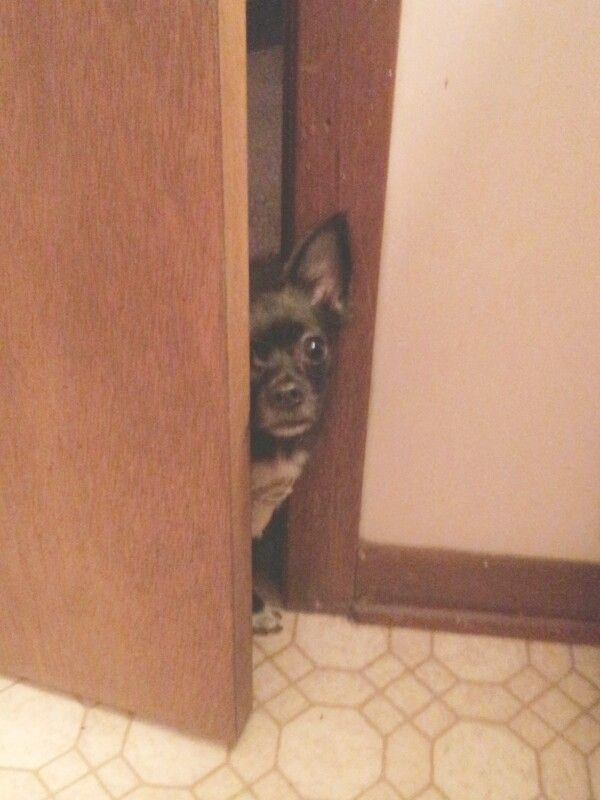 Bella playing peek a boo! Chihuahua ♡
