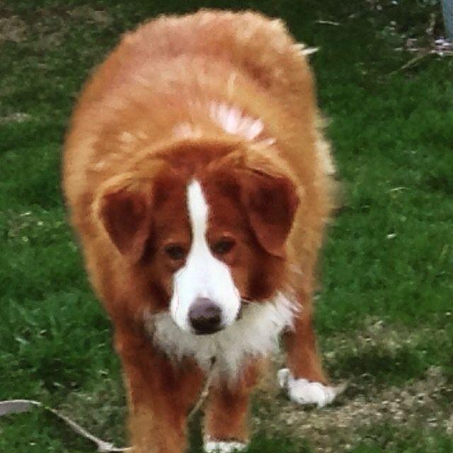Voila mon chien bud il est de rase pur bouvier bernoi il etais le seul de la porter a etre roux