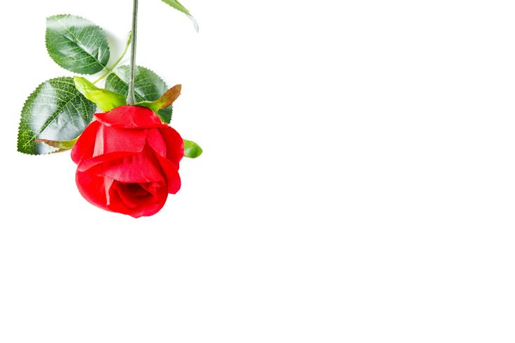 Faking It - A lovely fake red silk rose! At least these ones don't die and you can keep them forever :-)