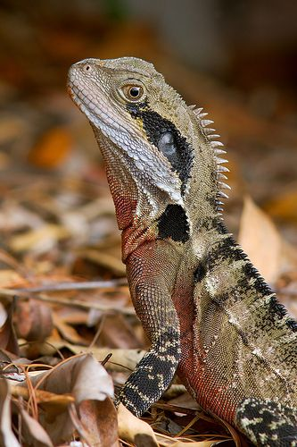 Australian Water Dragon (Physignathus lesueurii), which includes Eastern Water Dragon (P. l. lesueurii) & Gippsland Water Dragon (P. l. howittii) subspecies, is an arboreal agamid species native to Eastern Australia from Victoria north to Queensland, as well as a small population in the south-east coast of South Australia. Australian water dragons have long powerful limbs & claws for climbing, a long muscular laterally-compressed tail for swimming, & prominent nuchal and vertebral crests.