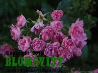 Rosa `Pink Grootendorst´Nejlikros
