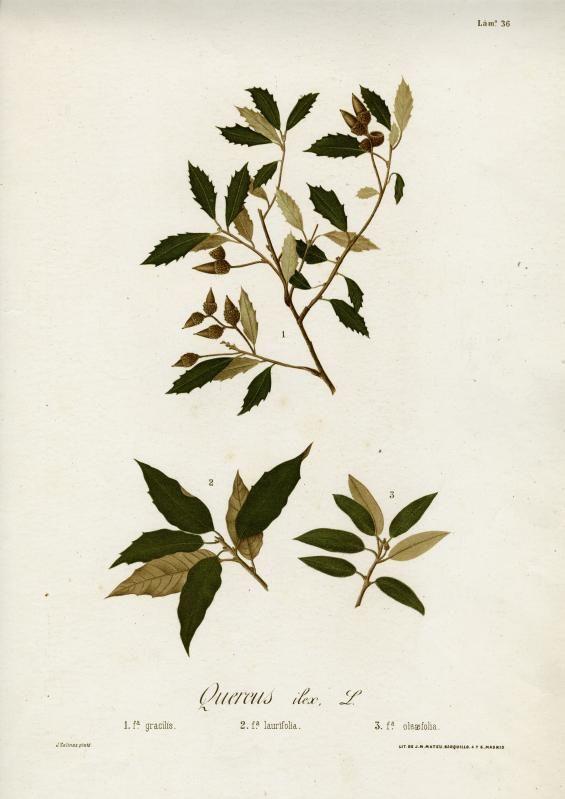 J. Salinas, Quercus ilex. (chêne vert), estampe, fin XIXe / ©Musée du Vivant - AgroParisTech