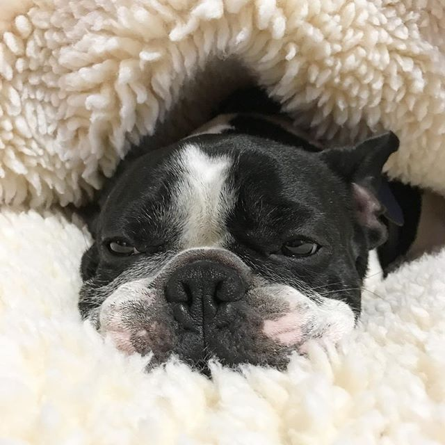 Dexter, the French Bulldog, on WEBSTA @ dexterfrench - #MONDAY #thatface