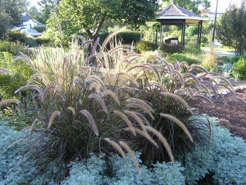 Purple fountain grass yard austin landscaping ideas for Purple grasses for landscaping