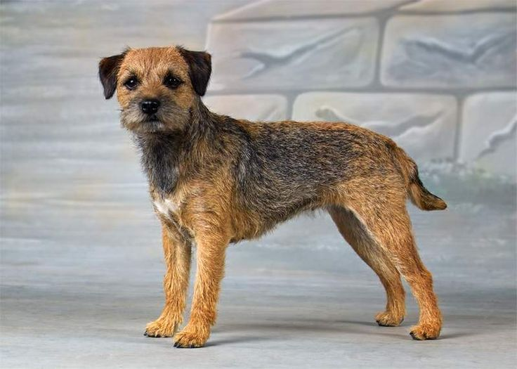 Der Border Terrier, der vermutlich aus dem Dandie Dinmont Terrier und anderen Terriern hervorging, stammt aus dem Gebiet der Cheviot Hills an der Grenze (engl.: border) zwischen England und Schottland. Dort wurde er vornehmlich zur Mäuse-, Ratten- und, trotz seiner geringen Größe, Fuchs-, Marder- und Otterjagd eingesetzt. Mit seinen relativ langen Läufen und seiner unerschöpflichen Ausdauer konnte der Hund mit den berittenen Jägern Schritt halten und scheute sich aufgrund seiner…
