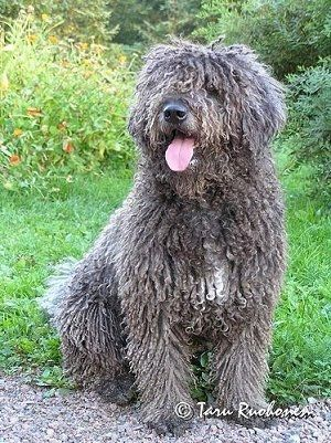 Front view - A long, curly coated, grey with white Spanish Water dog is sitting in grass, it is looking to the left, its mouth is open and its tongue is sticking out. The hair on its head is covering up its eyes and its nose is black.