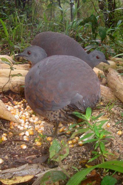 Foto inhambuguaçu (Crypturellus obsoletus) por João Marcelo | Wiki Aves - A Enciclopédia das Aves do Brasil